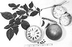 A hard-shelled bael fruit