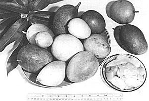 Mango Stem Borer Classification Essay - image 7