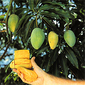 Mango Stem Borer Classification Essay - image 10