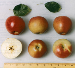 Fruit and leaves of 'Co-op 25' apple